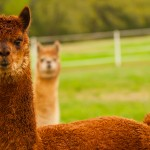 Charm Farm – Edge of Eden Alpacas