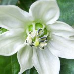 Lessons of the Jalapeno Flower