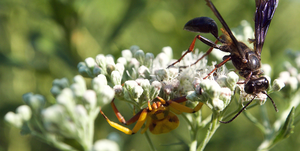 Late boneset: A fragrant  late-summer pollinator favorite